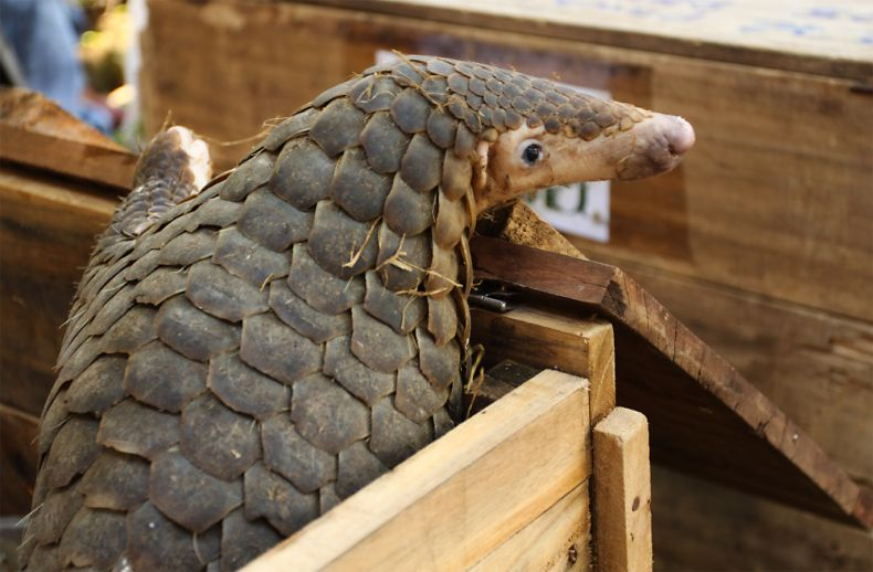 More than 100 Pangolins are Rescued from Wildlife Traffickers in Vietnam