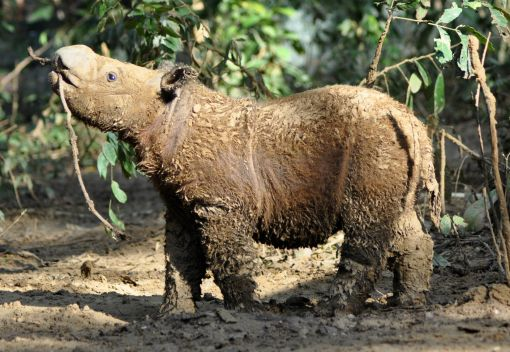 Puntung the Rhino is gravelly Ill in Sabah