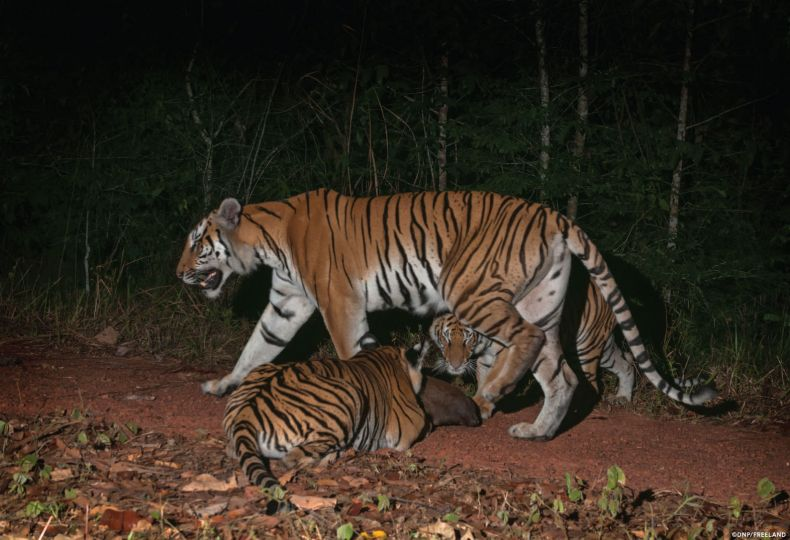 Wild-born Cubs reignite Conservation hopes for Indochinese Tigers