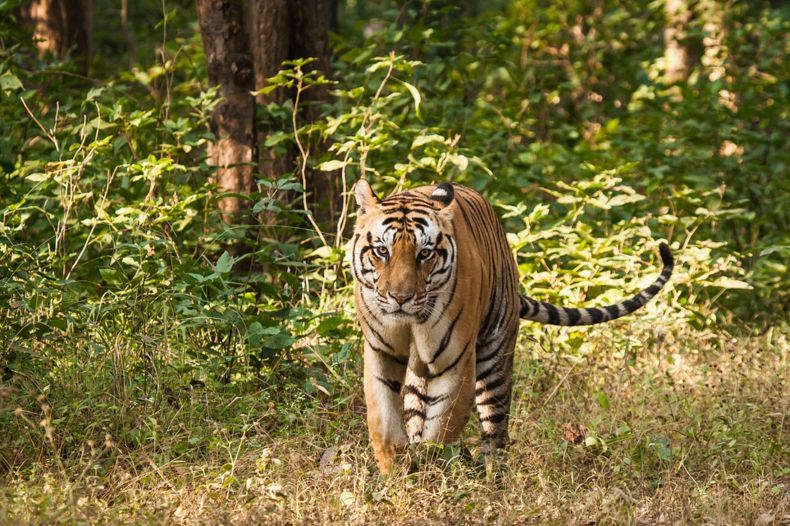 Protecting forests for Malayan Tigers