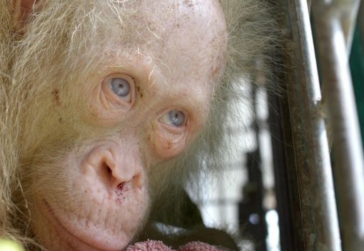 An albino Orangutan is found in Borneo