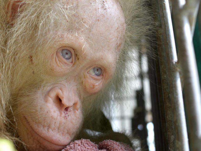 An albino Orangutan is found in Borneo
