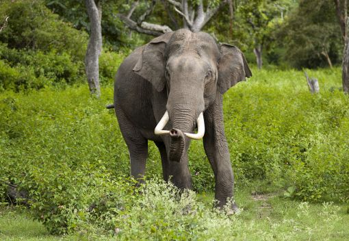 Wild Elephants are being Hunted for their Skins in Burma. But you Can Help