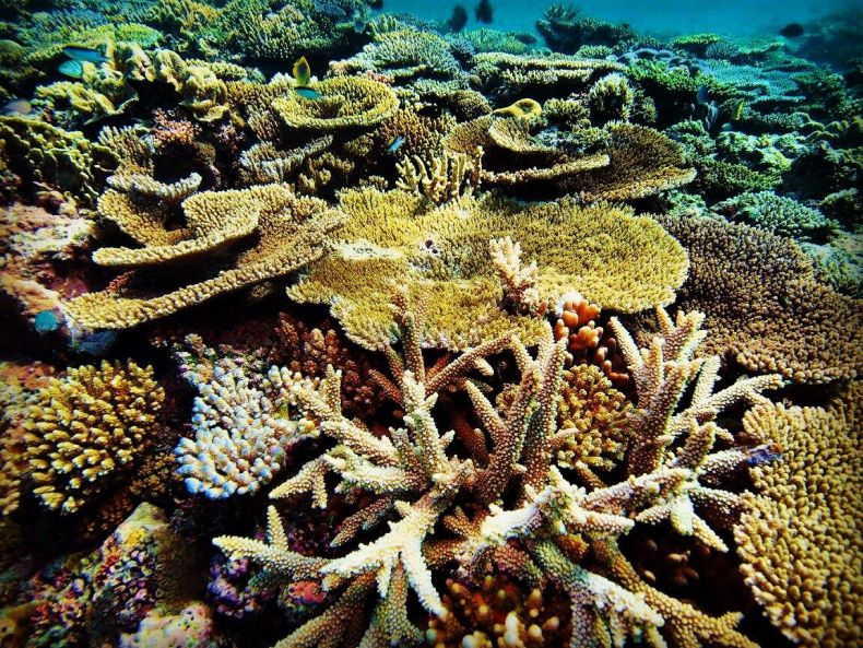 'Super' Corals might Save dying Reefs