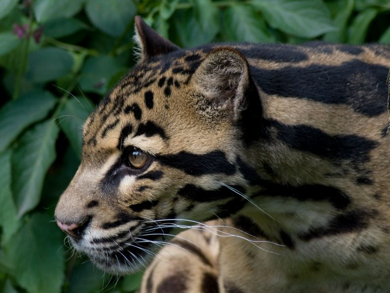 Setting out to Save Sabah's Clouded Leopards