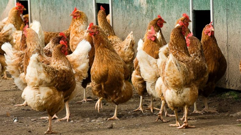 Turning chicken Waste into Biofuel