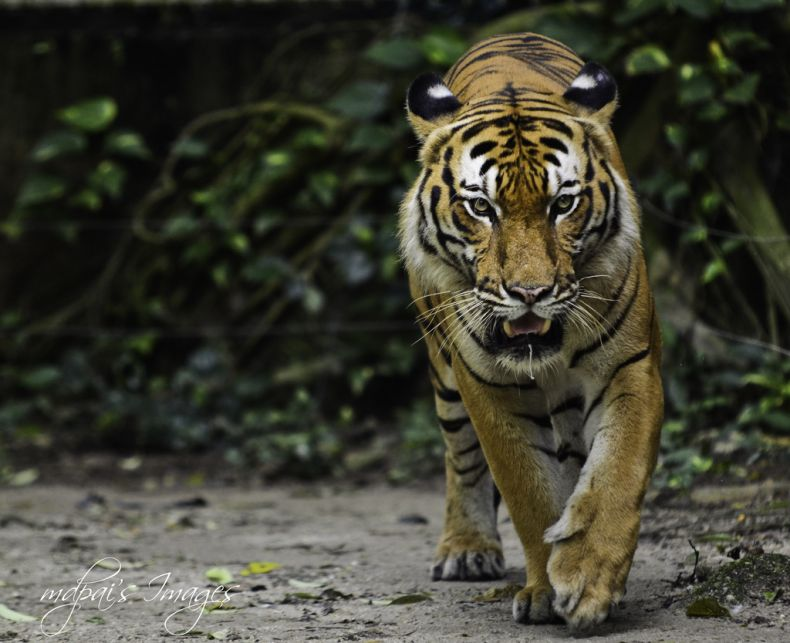 Seeking to End Tiger Poaching in Malaysia