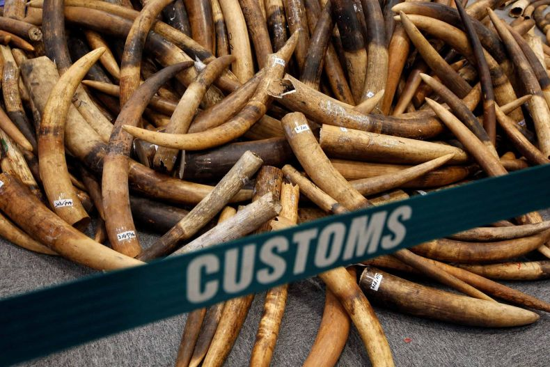 A vast Haul of Ivory from Malaysia is Seized in Hong Kong
