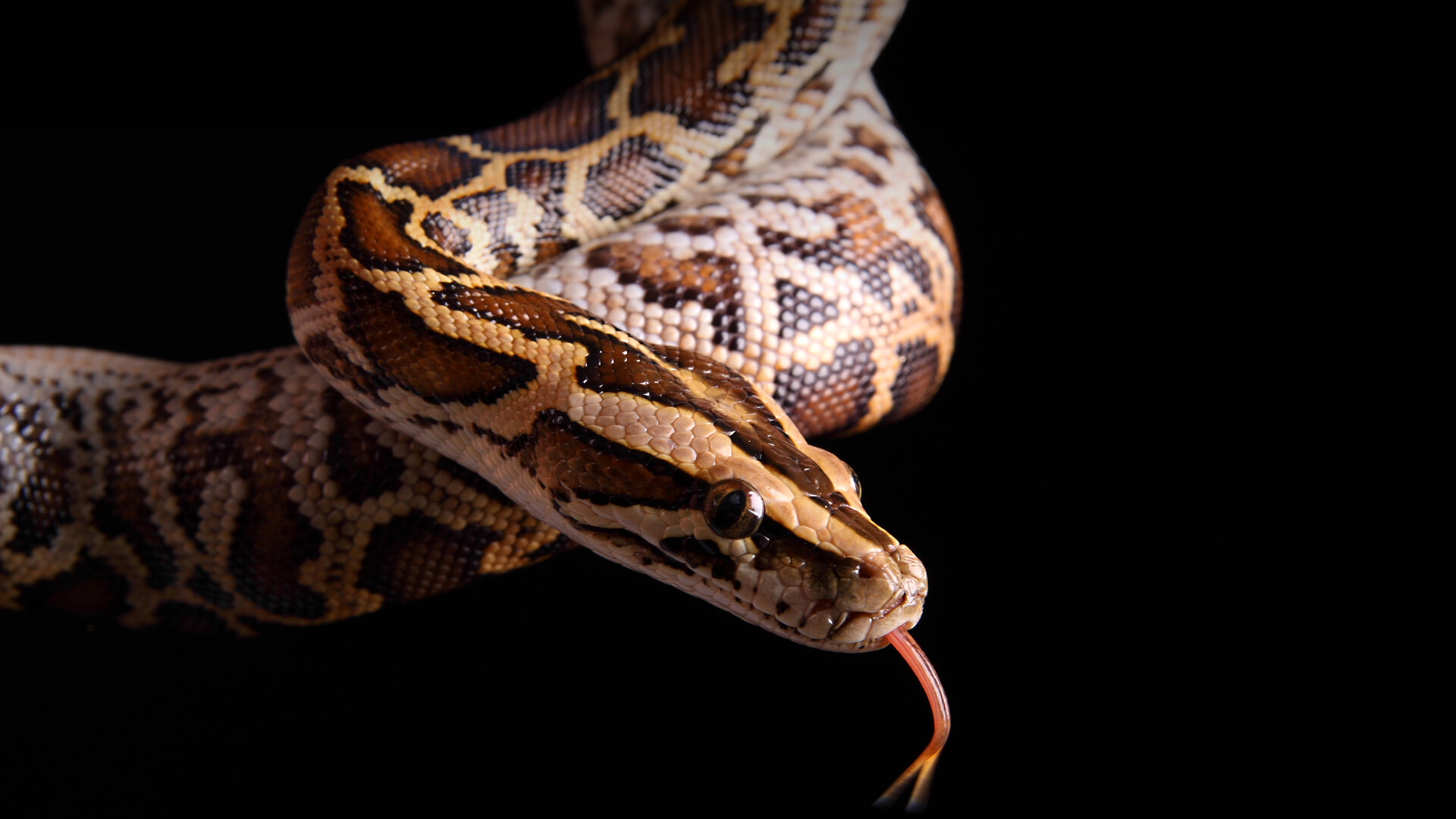 indonesian store sells python meat