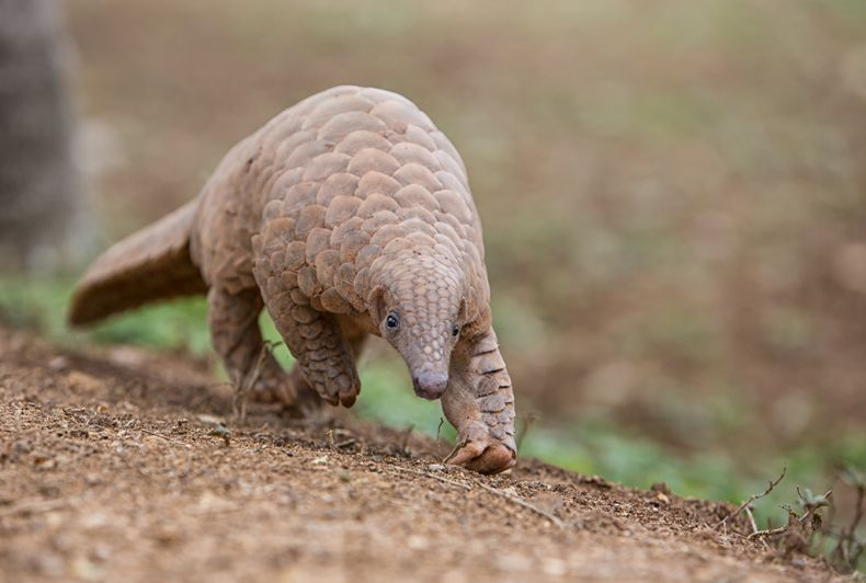 Will Sabah's Pangolins be 'Totally Protected' at Last? Here's Hoping