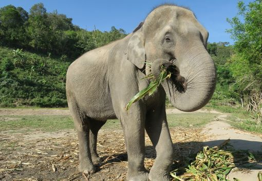 Asian Elephants' Dietary Preferences expose them to Conflicts with Humans