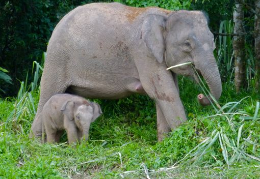 Pygmy Elephants face an Uncertain Future