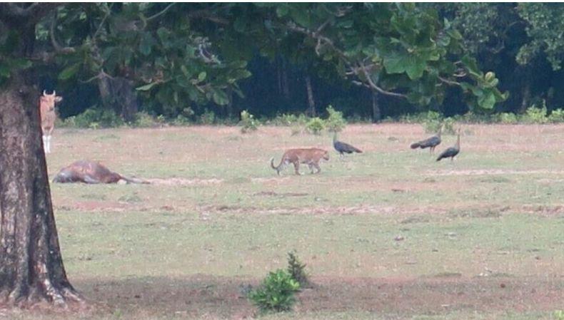 Are Javan Tigers still Around?