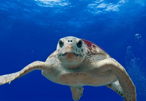 Success in Saving Sea Turtles