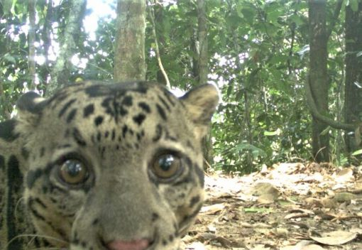 Sabah's Leopards are in Trouble