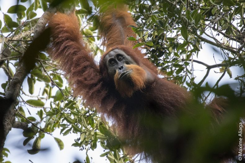 A Third Species of Orangutan has been Identified in North Sumatra