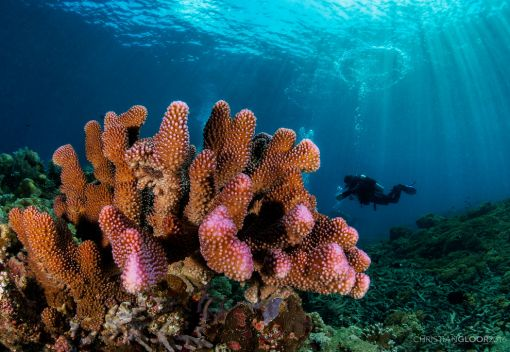 Corals may Succumb to Climate Change