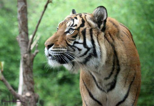 Planting Trees to save Malayan Tigers