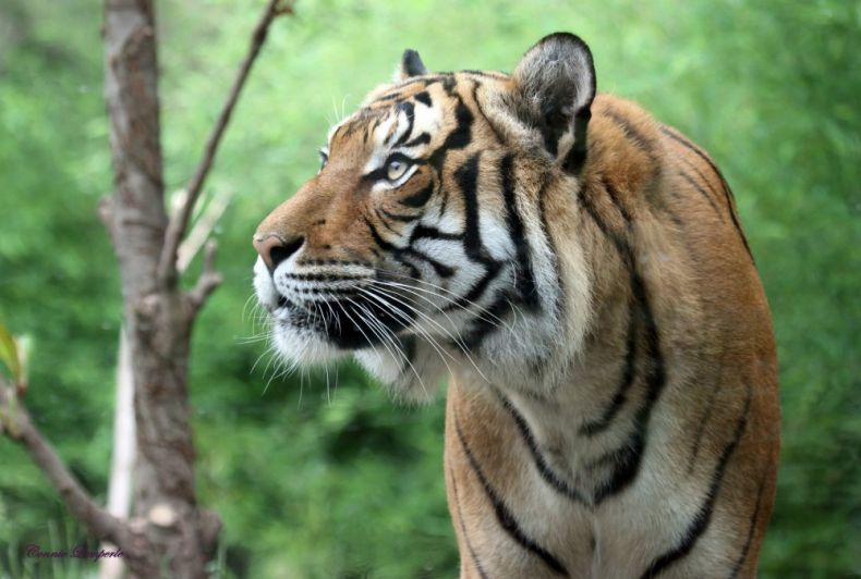 Planting Trees to save Malayan Tigers