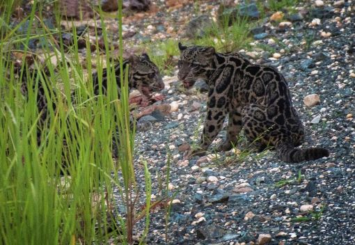 Three Sunda Clouded Leopards were Caught … on Camera