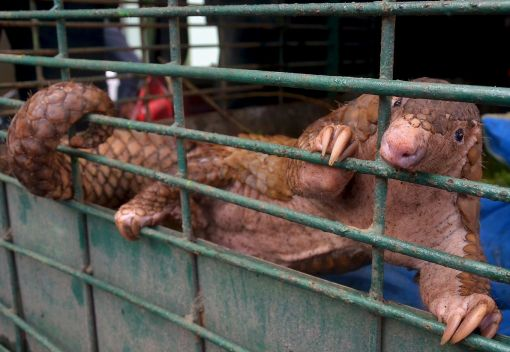 Indonesia's Pangolins are being driven Extinct at an Alarming Rate