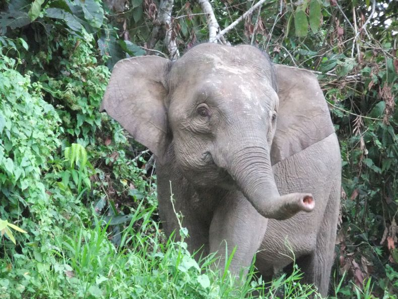 Another Pygmy Elephant dies from Gunshot Wounds in Sabah