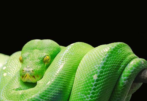 Snakes are Facing a Deadly Disease
