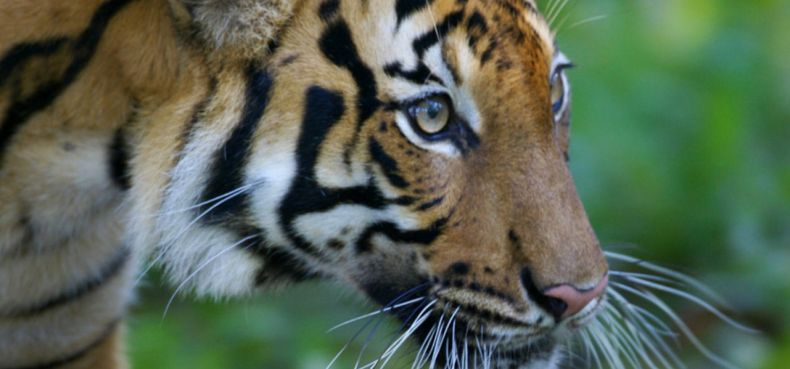 WWF: Malayan Tigers need all our Help