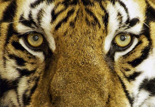Gopeng Man gets off Lightly for Possessing a Dead Tiger. For Shame