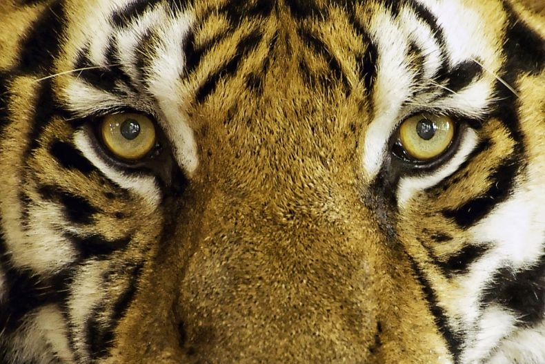 Gopeng Man gets off Lightly for Possessing a Dead Tiger. For Shame