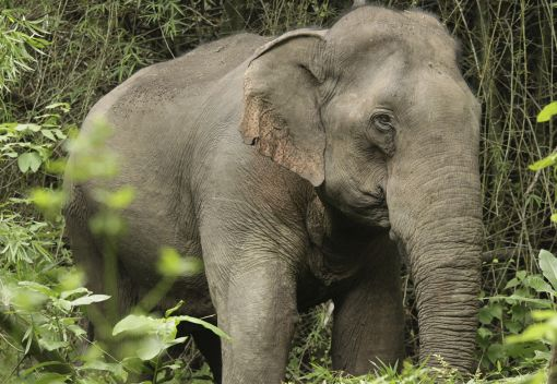 SAM: Stop the Wanton Deaths of Wild Elephants