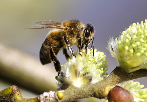 'Honeybees are Livestock,' not Wildlife