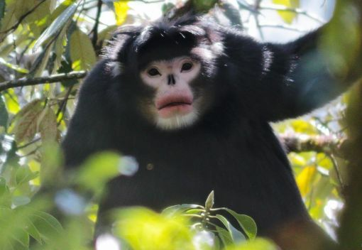 Critically Endangered Snub-Nosed Monkeys are Saved from Extinction
