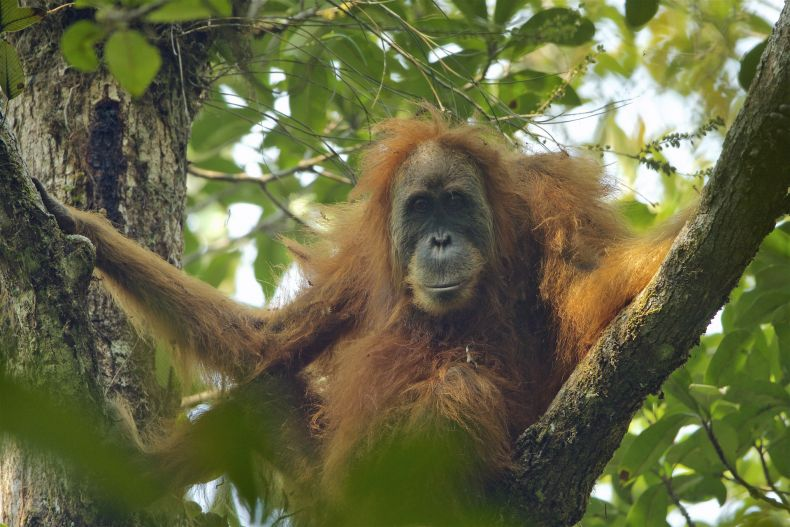 100,000 Orangutans 'have Died' prematurely in Borneo since 1999