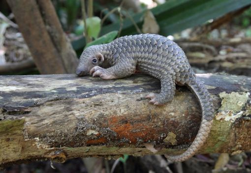 A Good Samaritan saves a Pangolin. We can do Likewise and help Save Wildlife