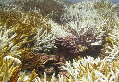 Acidification makes Corals more Brittle. It may even Dissolve Them