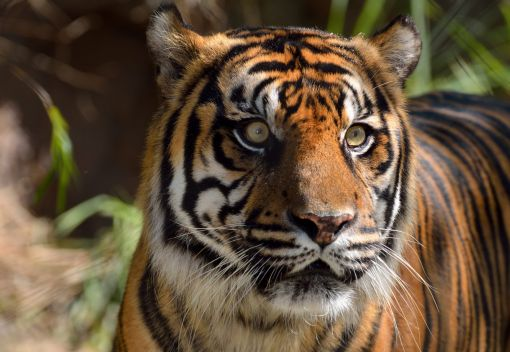 Indonesian Villagers kill a Tiger
